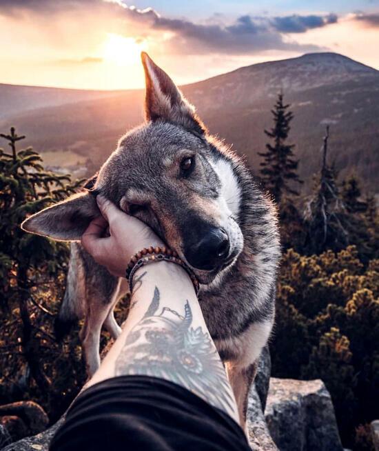 Картина по номерам 40x50 Ручной волк среди гор